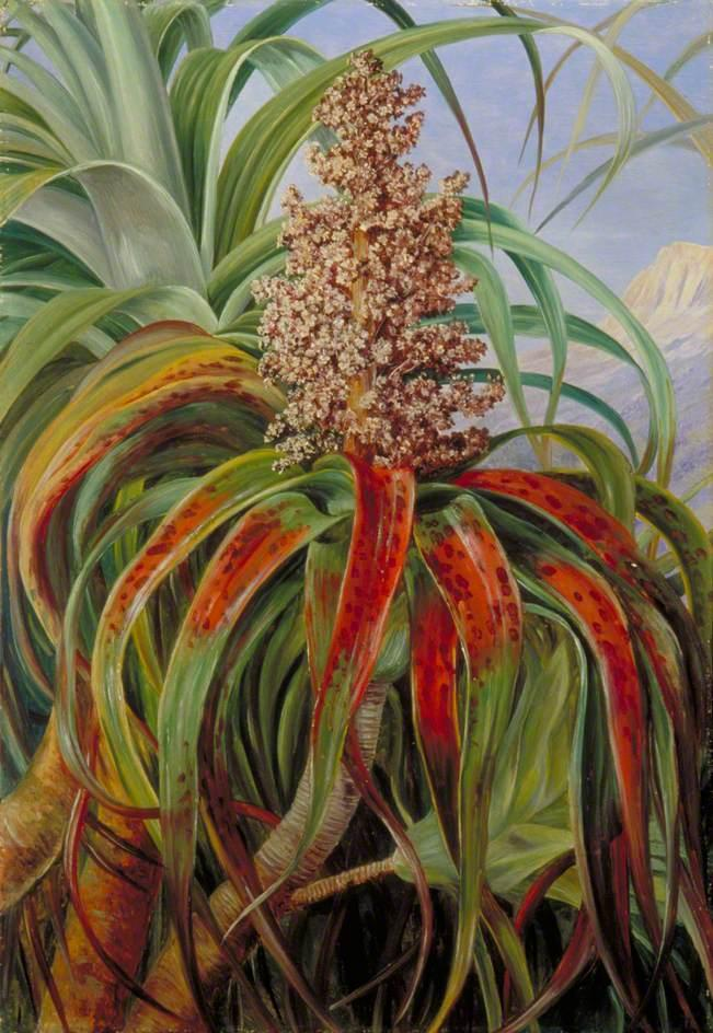 A New Zealand Dracophyllum - Marianne North