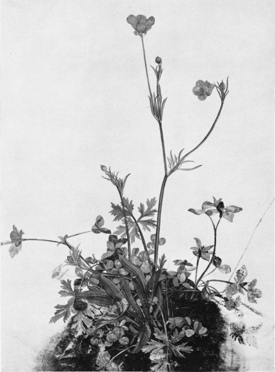 Butter Cups, Red Clover and Plantain - Albrecht Durer