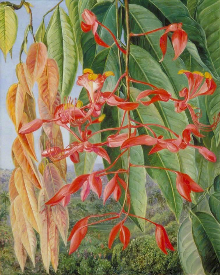 Foliage and Flowers of the Burmese Thaw-Ka or Soka - Marianne North