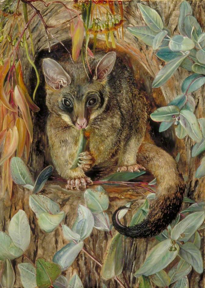 Possum up a Gum Tree - Marianne North