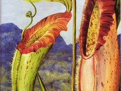 Nepenthes northiana – Marianne North