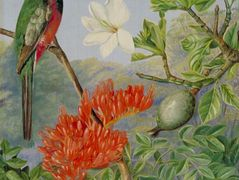 Two Flowering Shrubs of Natal and a Trogon – Marianne North