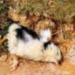 John Ruskin's dead chick – William Holman Hunt
