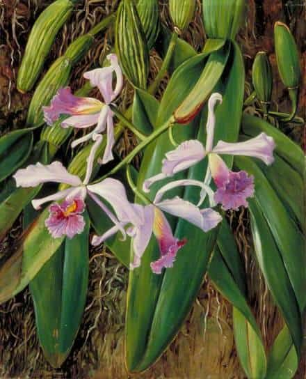 Pink Orchid - Marianne North