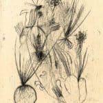 Planta tuberosa – Wols