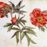 Study of Peonies – Martin Schongauer